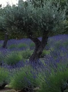 olive lavender